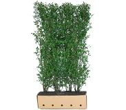 Quickhedge Ligustrum ovalifolium 200 cm