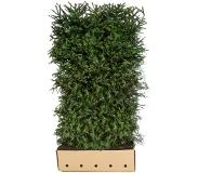 Quickhedge Picea Abies 200 cm